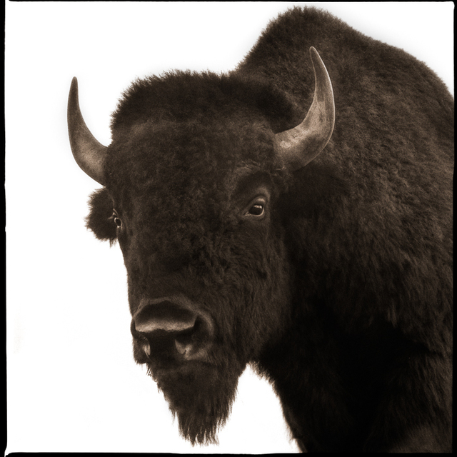 , 'Bison-II,' , Visions West Contemporary