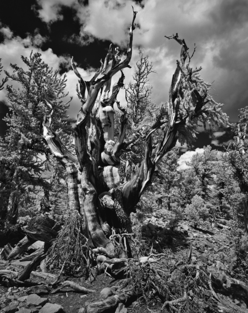 , 'Great Basin National Park – Bristle Cone Pine,' 2019, Modernist Frontier