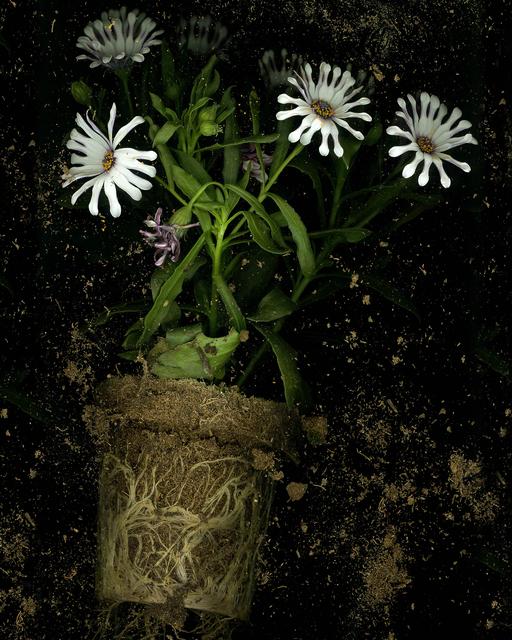 , 'Osteopermum,' 2016, Jessica Carlisle
