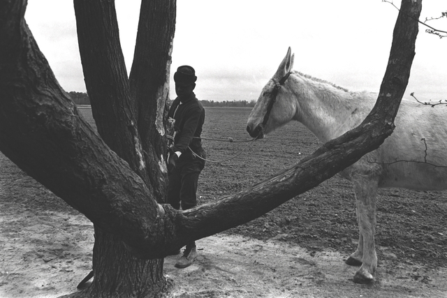 Constantine Manos, 'Untitled, Sharecroppers, South Carolina (lone man, tree and white mule)', 1965, Photography, Gelatin silver print, Robert Klein Gallery