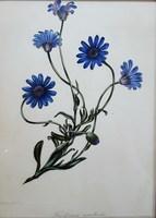 Joseph Paxton, Amelloides (Blue Daisy)