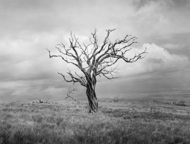 , 'Mauna Kea Tree, Study III,' 2012, Photography West Gallery