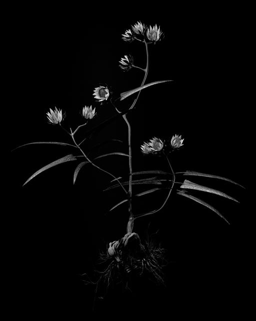 , 'Voynich Botanical Studies, Specimen 20v Zima,' 2016, Koenig & Clinton