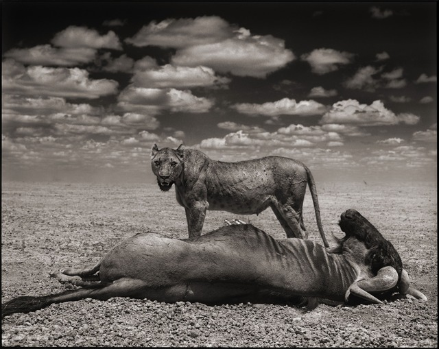 , 'Lioness & Wildebeest, Amboseli, 2012,' 2012, photo-eye Gallery