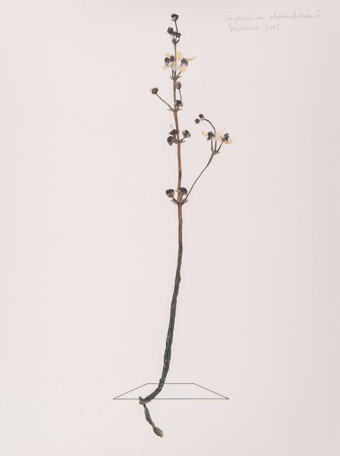 , 'Sagittaria sagittifolia,' 2016, H.L.A.M.