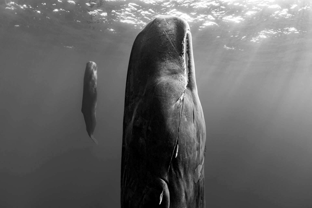 Paul Nicklen, 'Suspended Grace', 2019, Photography, Archival Pigment Print, Lyons Gallery
