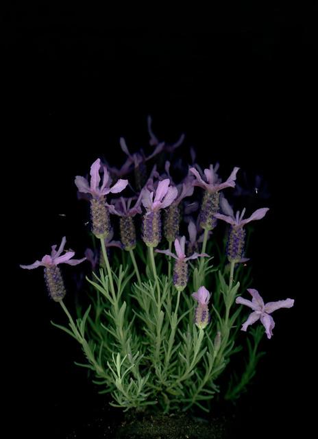 , 'Lavendel (Lavandula angustifolia),' 2018, Galerie Judith Andreae