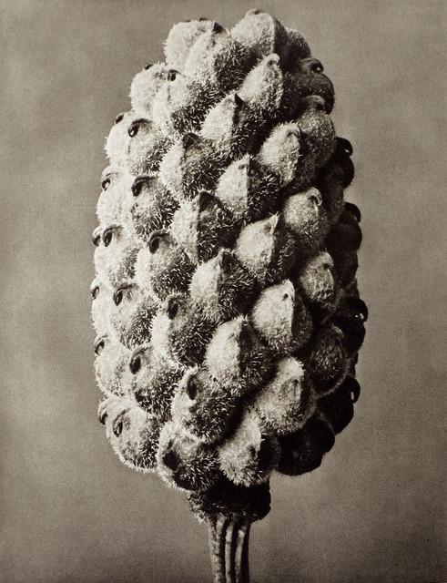 , 'Plate 80 - Adonia vernalis, False Hellebore ,' , photo-eye Gallery