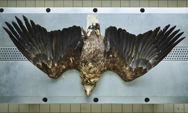 , 'Seeadler (Hallaeetus albicilla), Leibniz IZW, Berlin 2016,' , Galerie Greta Meert