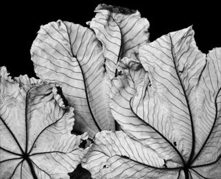Cecropia Leaves I