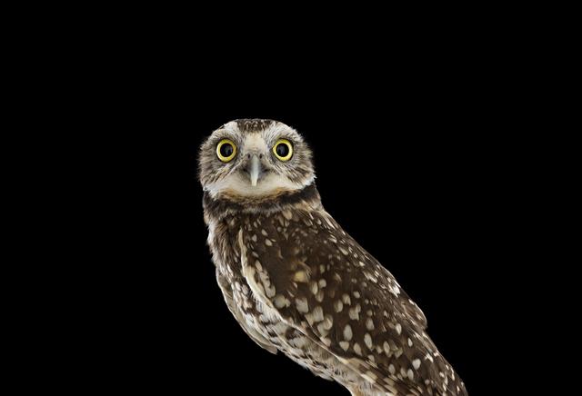 Brad Wilson, 'Burrowing Owl #1, Espanola, NM ', 2013, photo-eye Gallery