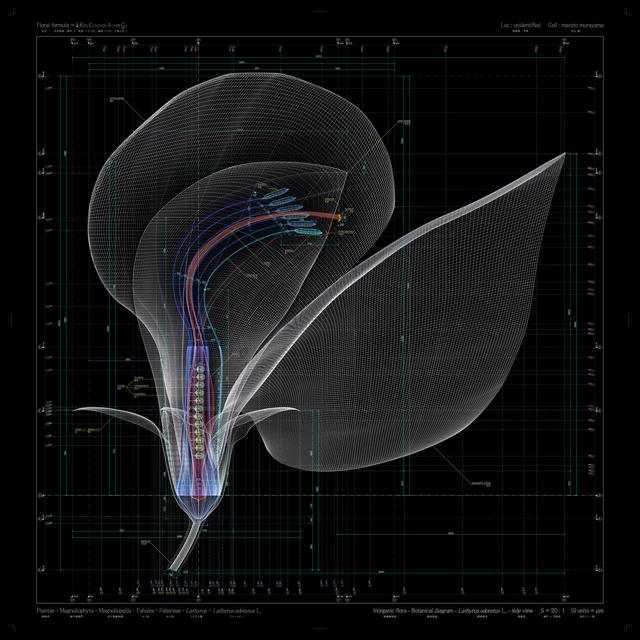 , 'Lathyrus odoratus L - side view - b,' 2009-2012, Frantic Gallery