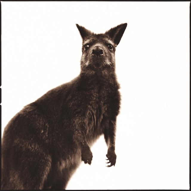 Nine Francois, 'Wallaby I', Weston Gallery