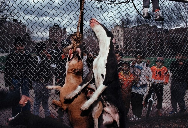 , 'Pit Bulls, Spanish Harlem, NY,' 1988, Galerie Bene Taschen