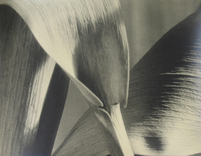 , 'Untitled (detail of leaves),' ca. 1930, Stephen Bulger Gallery