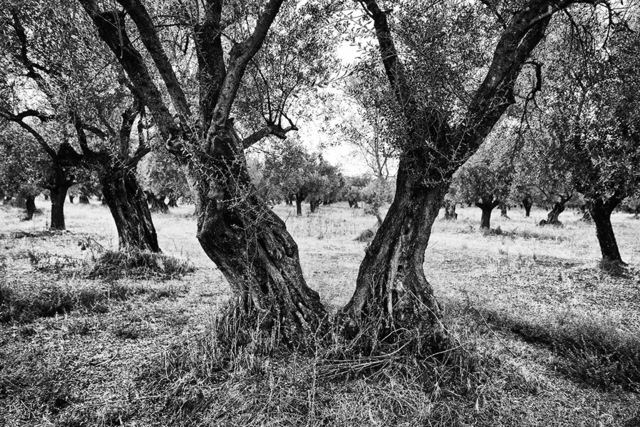 , 'Stamna olive trees,' 2015-2016, Photo12 Galerie