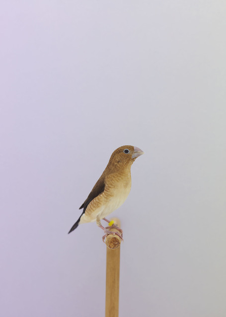 , 'Indian Silverbill #1,' ca. 2016, The Photographers' Gallery