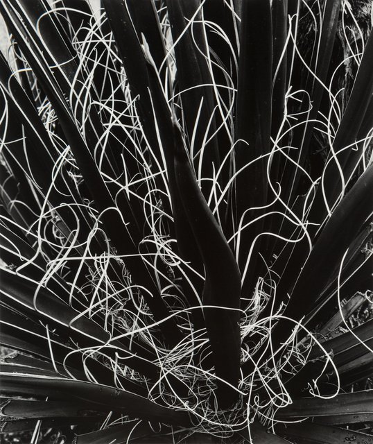 Brett Weston, 'Untitled (Yucca)', Heritage Auctions