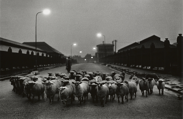 Don McCullin, 'Sheep going to the Slaughter, Early Morning, Near the Caledonian Road, London', 1965, Hamiltons Gallery