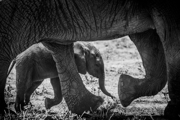 Elephant Calf II, Samburu, Kenya, 2014 by Frank af Petersens