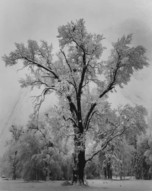 , 'Oak Tree, Snowstorm, Yosemite National Park,' 1948, G. Gibson Gallery