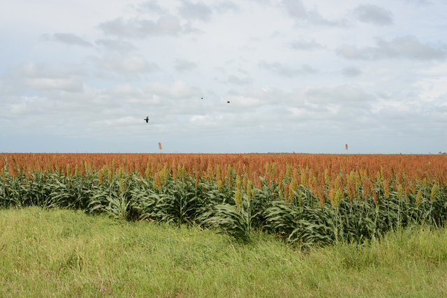 , 'South Texas: Sorghum Field with Blackbirds near Falfurrias,' 2015, PDNB Gallery