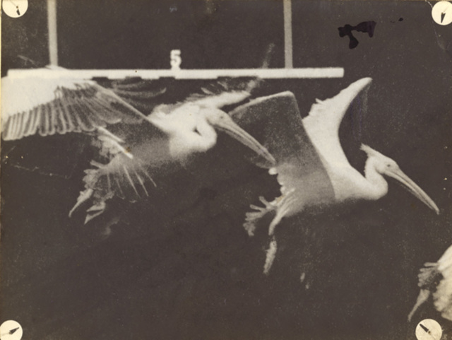 Étienne-Jules Marey, 'Flight of the Pelican', 1887/1887-89, Contemporary Works/Vintage Works