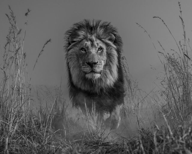 David Yarrow, 'The King and I', 2016, Photography, Archival Pigment Print, Hilton Asmus