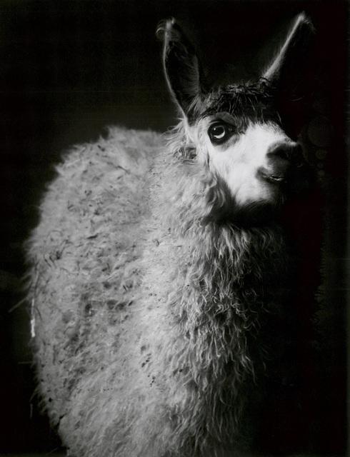 , 'Alpaca,' 1982, Galerie Peter Sillem