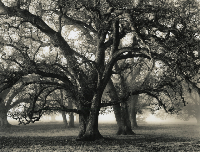 , 'Two Hearted Oak,' 2000, Photography West Gallery