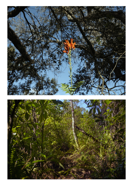, 'Untitled (Cape Honeysuckle on Hardee) & Untitled (Bill Sadowski Preserve),' 2015, Marisa Newman Projects