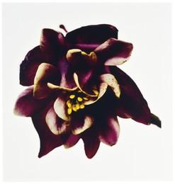 Columbine/Aquilegia vulgaris: William Guiness