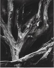 Sequoia Roots, Yosemite National Park, California