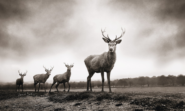 Graeme Purdy, 'Four Stags', 2019, Woolff Gallery