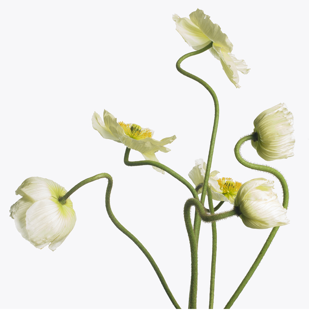 , '6 White Poppies,' 2013, Gagosian