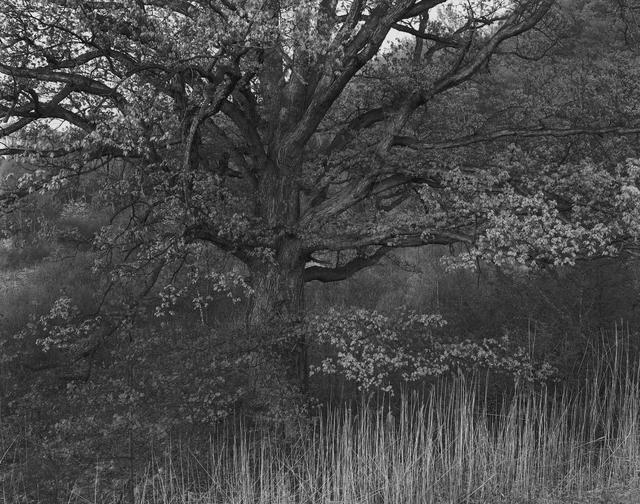 George Tice, 'Oak Tree, Holmdel, NJ', 1970, Gallery 270