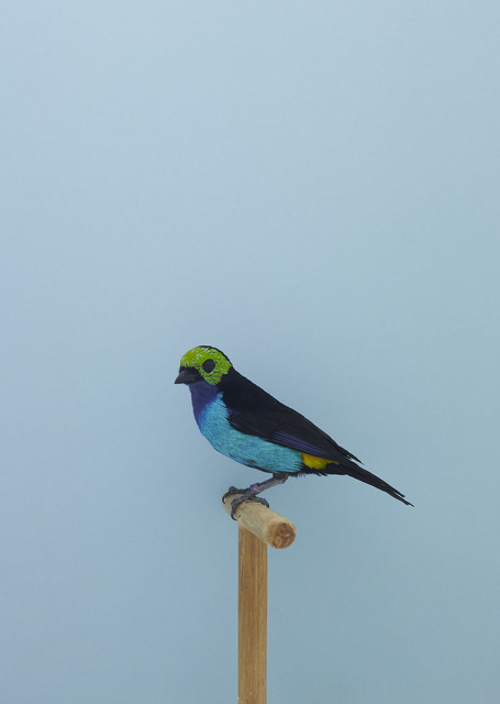 , 'Paradise Tanager #1,' ca. 2016, The Photographers' Gallery