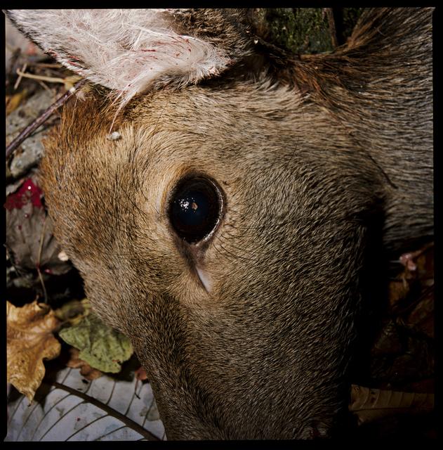 , 'A Deer Shot Dead, Kamaishi, Iwate,' 2009, Postmodernism Museum