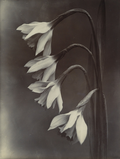 Charles Jones, 'Narcissus, William Goldring', Circa 1900, Swann Auction Galleries