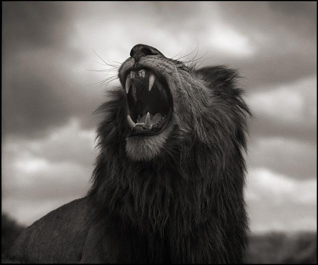 , 'Lion Roar, Maasai Mara,' 2012, Edwynn Houk Gallery