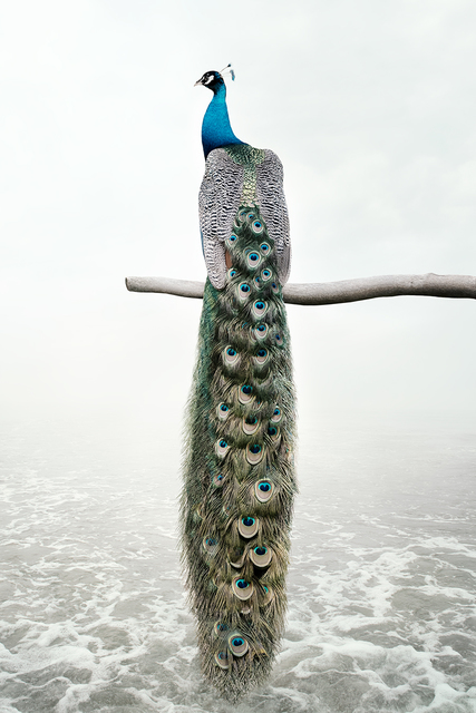 Alice Zilberberg, 'Patience Peacock', 2019, Photography, Photo-based digital painting (Paper - Canson Infinity Rag Photographique), Isabella Garrucho Fine Art