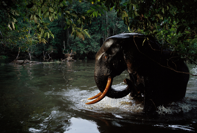 , 'Some of my favorite images were taken by the elephants themselves, as they broke the invisible beams of carefully placed camera traps. Loango National Park, Gabon.,' 2003, Anastasia Photo