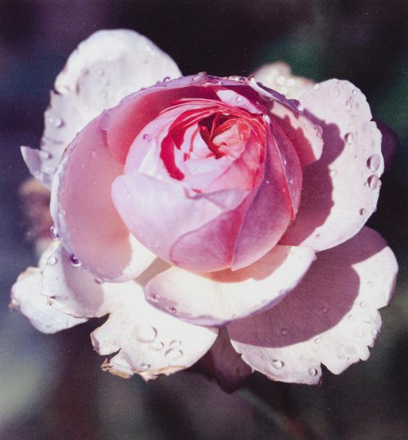 Tony Tasset, 'December Rose', 2001, Museum of Contemporary Photography (MoCP)