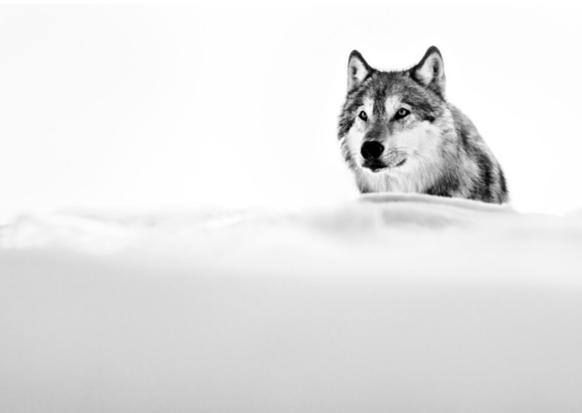 David Yarrow, 'Focused Wolf', 2015, Photography, Archival Pigment Print, Maddox Gallery