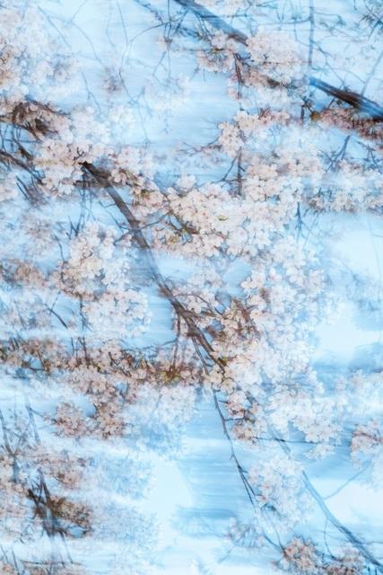 , 'Sakura 001,' 2015, IBASHO