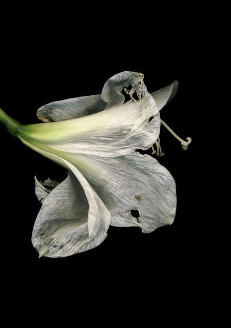 , 'Untitled (Amarili Hippeastrum white) from FLOWERS,' 2009, Mai 36 Galerie