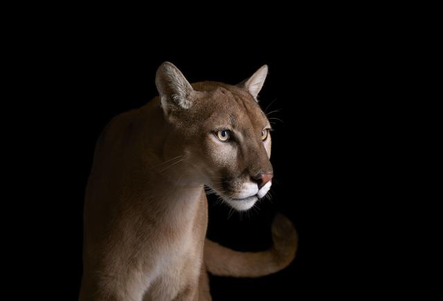 Brad Wilson, 'Mountain Lion #4, Los Angeles, CA', 2011, photo-eye Gallery