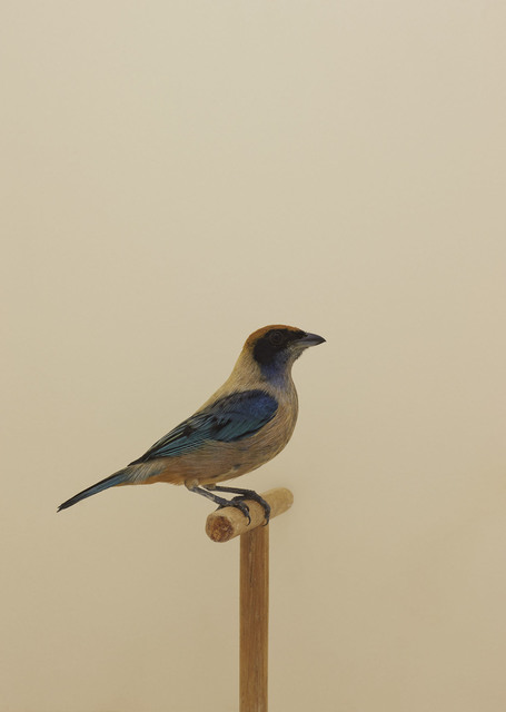 , 'Burnished-buff Tanager #1,' ca. 2016, The Photographers' Gallery