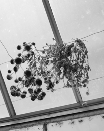 Dried Flowers in the Greenhouse