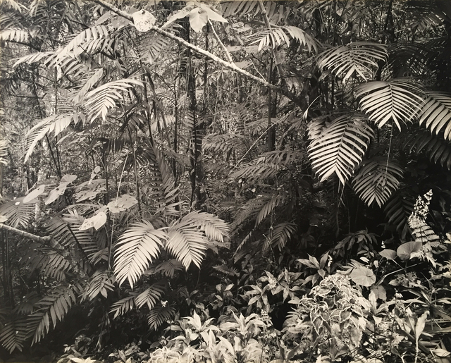 , 'Rainforest, Mexico,' ca. 1960, Charles Isaacs Photographs, Inc